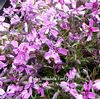 Phlox subulata 'Fort Hill'  1L